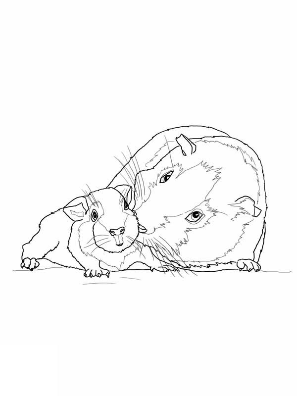 guinea-pig-coloring-page-0015-q1