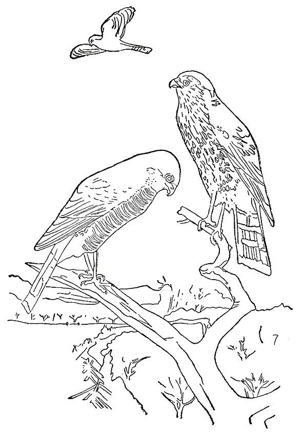 hawk-coloring-page-0006-q2