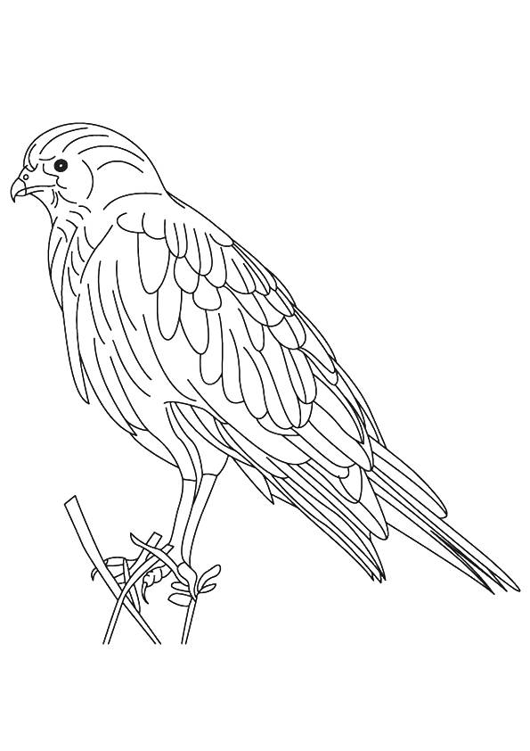 hawk-coloring-page-0019-q2