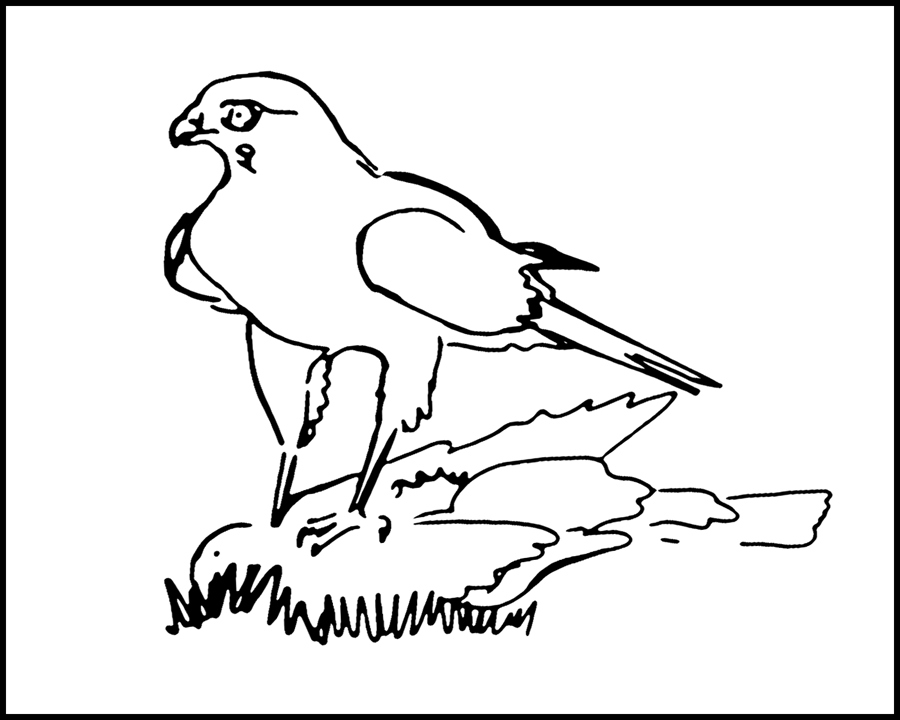 hawk-coloring-page-0021-q1