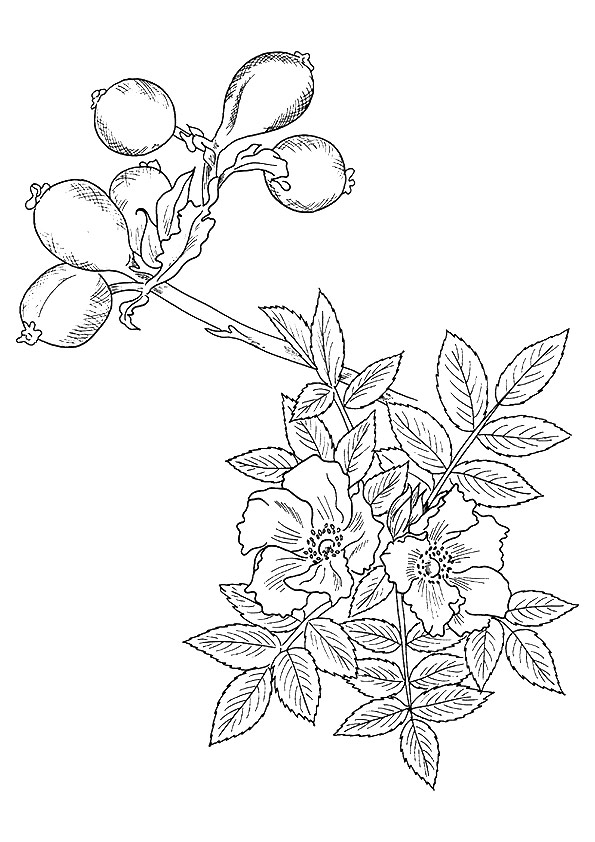 rose-coloring-page-0026-q2