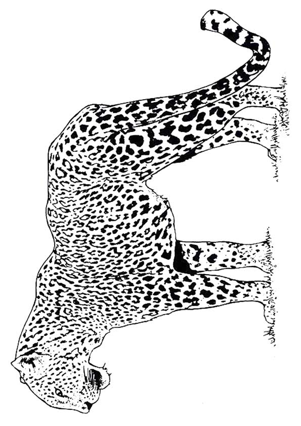 cheetah-coloring-page-0026-q2